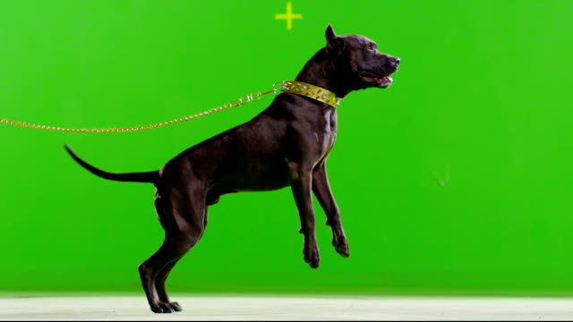 Real black pit bull dog barking. Green screen chroma key. Slow Motion. Shot on RED EPIC Cinema Camera. Real black pit bull dog barking. Green screen chroma key. Slow Motion. Shot on RED EPIC Cinema Camera. FEW SHOTS ! plant bark stock videos & royalty-free footage
