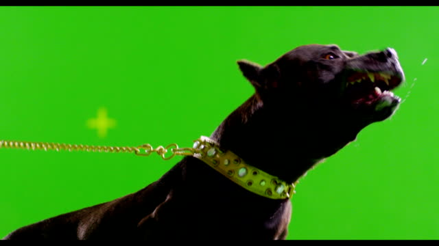 Real black pitbull dog barking. Green screen chroma key. Slow Motion. Real black pit bull dog barking. Green screen chroma key. Slow Motion.   plant bark stock videos & royalty-free footage