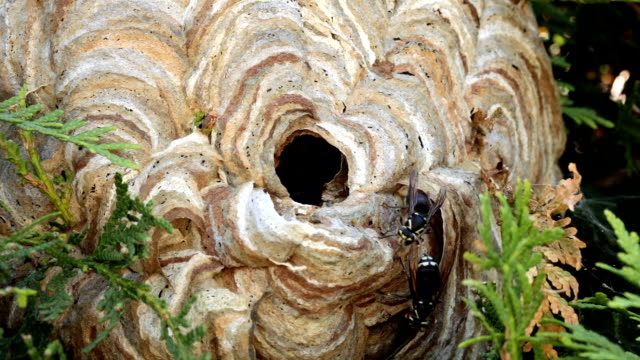 A real hornet's nest up close video