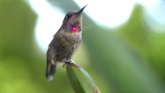 Real humming bird flying away from the twig in slow motion video