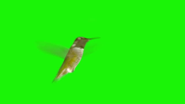 Real Hummingbird with Alpha Channel Matte mask video