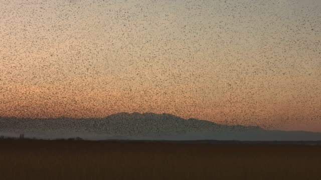 Real time video of large murmuration of starlings at dusk