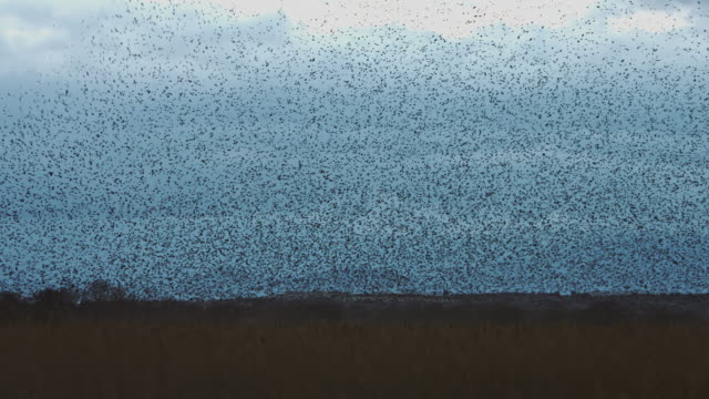 Real time video of large murmuration of starlings in a cloudy day video