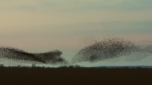 vídeos y material grabado en eventos de stock de vídeo en tiempo real de grandes murmuration de estorninos en una noche nublada - pájaro