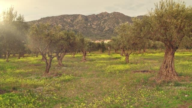 stockvideo's en b-roll-footage met real-time video van olive tree grove bij zonsondergang - olijf