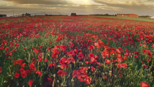 Real time video of spring poppies at sunset