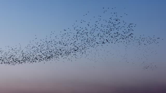 vídeos y material grabado en eventos de stock de vídeo en tiempo real de estorninos contra el cielo azul - pájaro