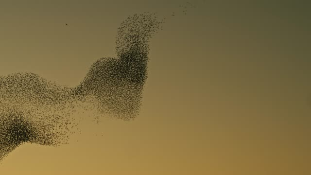 Real time video of starlings flying in the sky at sunset video