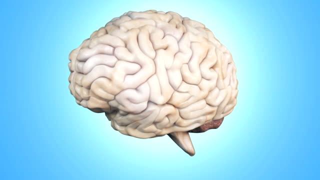 vídeos de stock e filmes b-roll de realistic human brain rotating. - cerebelo