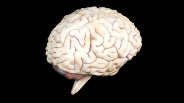 Realistic human brain rotating. Anatomical CG model of brain spinning. Contains alpha matte channel. cerebellum stock videos & royalty-free footage