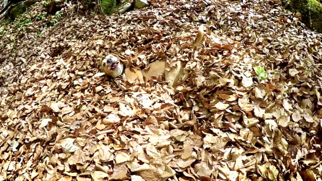 Real-time footage: beagle fools around in the pile of leaves with a stick video