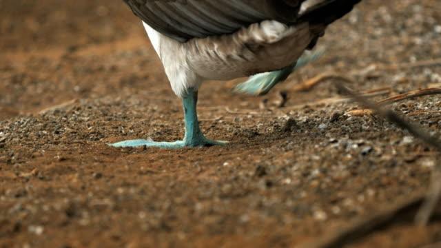 vídeos de stock, filmes e b-roll de tiro de ângulo baixo traseiro de um azul-atobá levantar seus pés nas ilhas galápagos - atobá