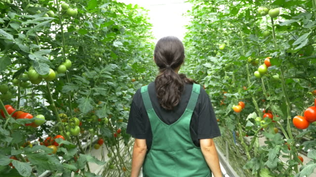 Rear view of farmer walking amidst tomato plants video
