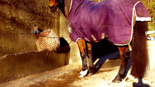 rear view of horse is eating hay - 40 49 lat filmów i materiałów b-roll