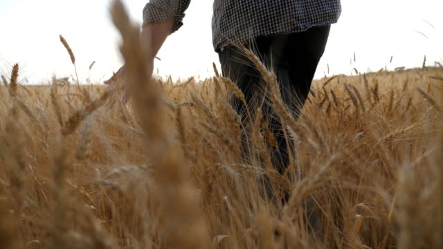 vidéos et rushes de vue arrière de jeune fermier marchant par le champ d'orge et caressant des oreilles d'or de la culture. main mâle se déplaçant au-dessus du blé mûr se développant sur la prairie. concept d'entreprise agricole. ralenti - blé
