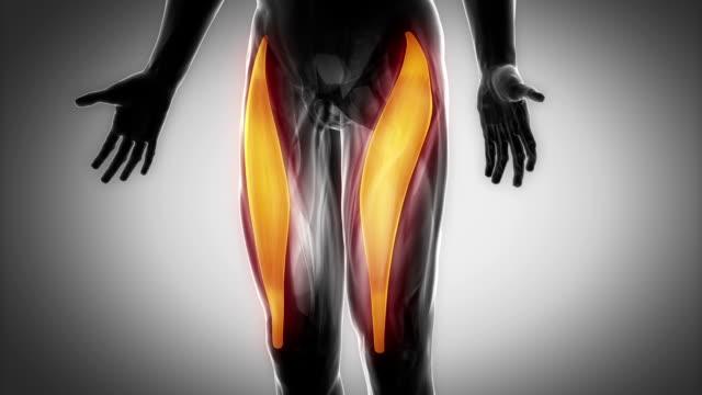 gerade oberschenkelmuskel-schwarz-anatomie muskeln-karte - gliedmaßen körperteile stock-videos und b-roll-filmmaterial