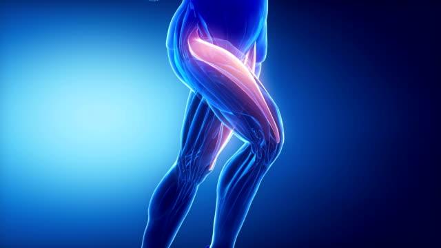 rectus femoris - ben muskler anatomi anaimation - lem kroppsdel bildbanksvideor och videomaterial från bakom kulisserna