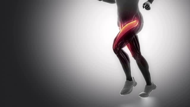 rectus femoris - leg muscles anatomy anaimation video