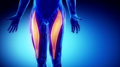 gerade oberschenkelmuskel-muskeln anatomie in schleife - gliedmaßen körperteile stock-videos und b-roll-filmmaterial