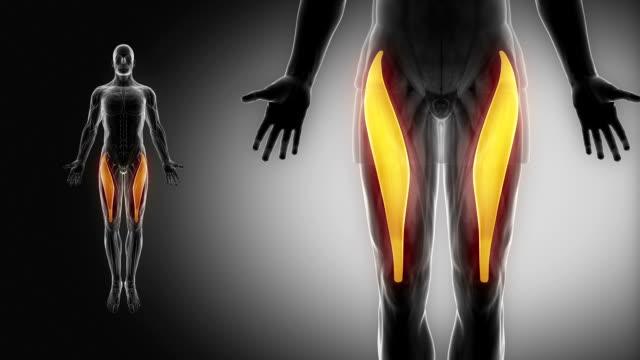 gerade oberschenkelmuskel-muskeln mit muskel-karte anzeigen - gliedmaßen körperteile stock-videos und b-roll-filmmaterial