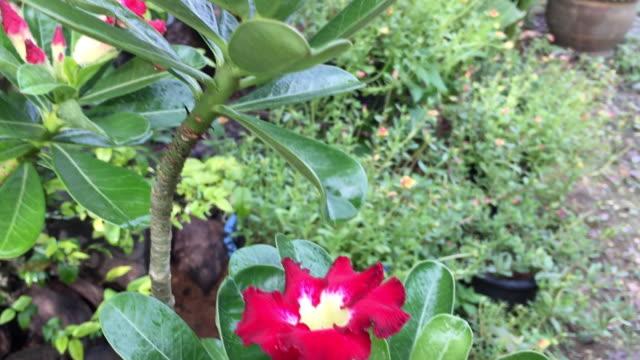 Kırmızı adenium obesum veya ağaç üzerinde büyüyen çöl gül çiçeği video