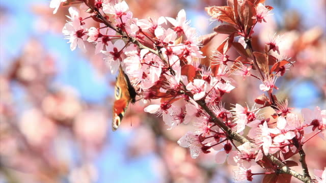 farfalla admiral rossa in ciliegio hd - stame video stock e b–roll