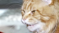 istock red aggressive cat in the exhibition 472821063