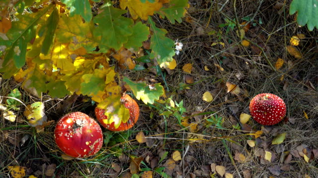 red amanitas in the autumn forest - svasso video stock e b–roll