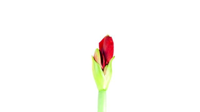 Red Amaryllis; TIME LAPSE