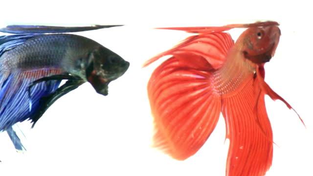 vidéos et rushes de rouge et bleu poisson combattant siamois - nageoire caudale