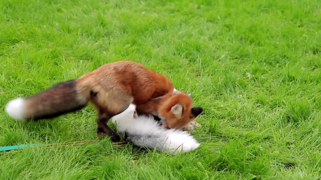 Red and marbled fox in leashes play cheerfully on a green lawn video