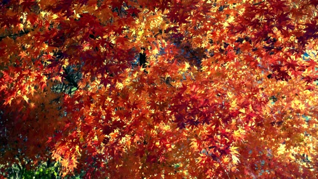 Red and orange colorful autumn maple leaves