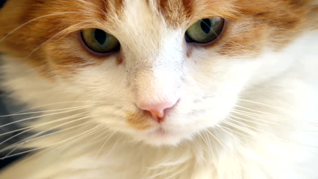 red and white cat face close up - baffo parte del corpo animale video stock e b–roll