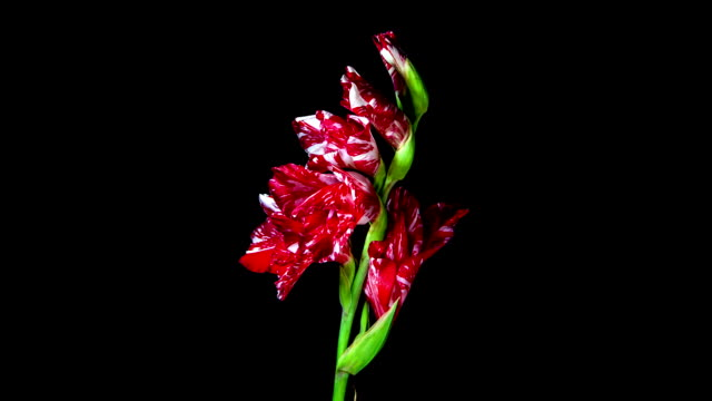 Red and white gladiolus flower blooming timelapse video
