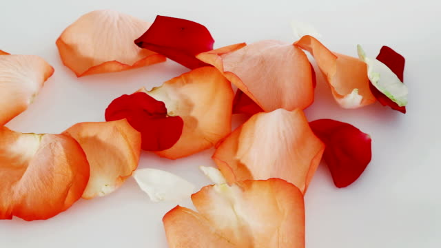 Red and white rose petals falling down, nature background video