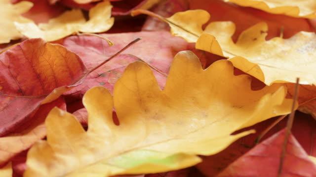 красные и желтые осенние листья - дубовый лес стоковые видео и кадры b-roll