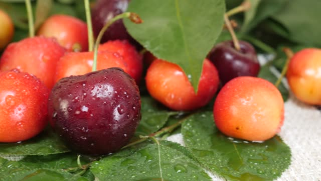 Red and Yellow Cherries Fruit with Water Drops and Tree Branch with Green Leaves