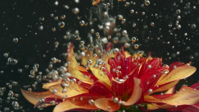 Red and yellow gerbera flower with water bubbles underwater