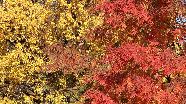 red and yellow leaves in fall breeze video