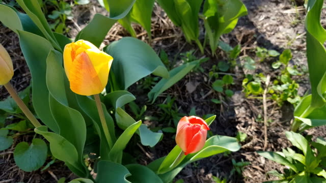Red and yellow tulips close up in the field video