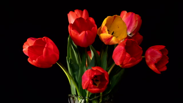 Red and yellow tulips close up on black surface.
