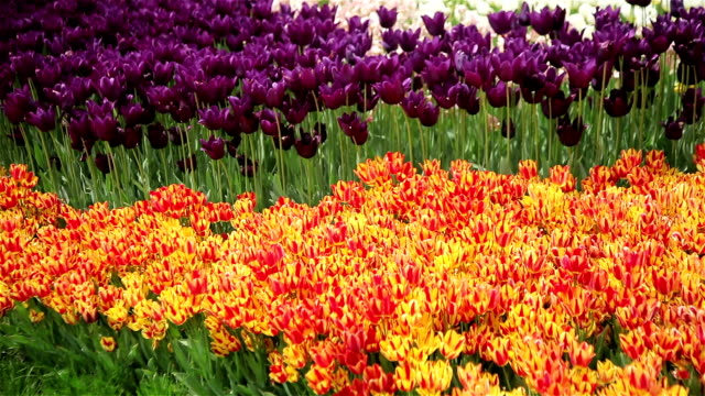 Red and yellow tulips in spring background video