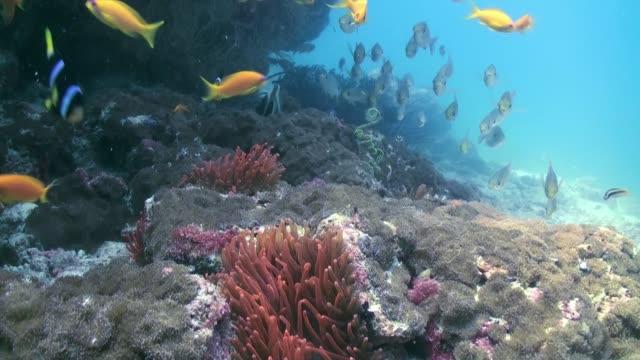 kırmızı anemon ve palyaço balık deniz tabanı üzerinde. - etçiller stok videoları ve detay görüntü çekimi