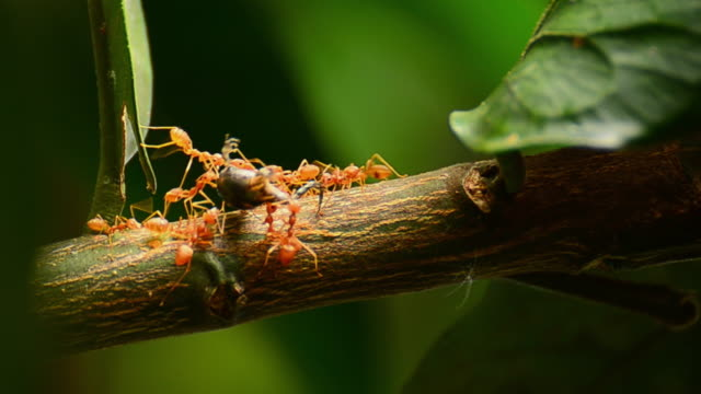 Red ant Video of of Red ants carrying insect on the tree. (4K) plant bark stock videos & royalty-free footage
