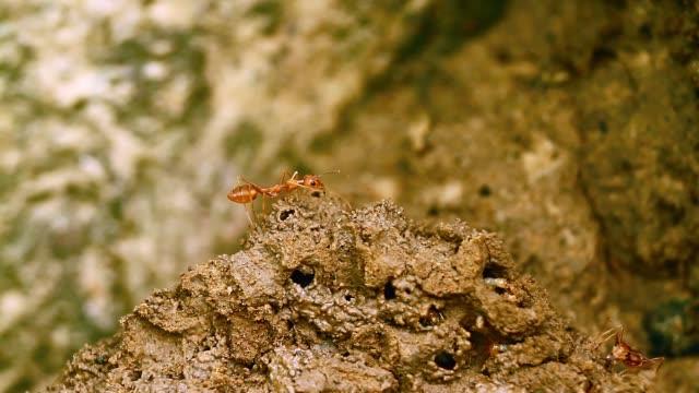 red ants and termite in bardia national park, nepal - park narodowy kanha filmów i materiałów b-roll