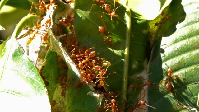 Red Ants Close Up