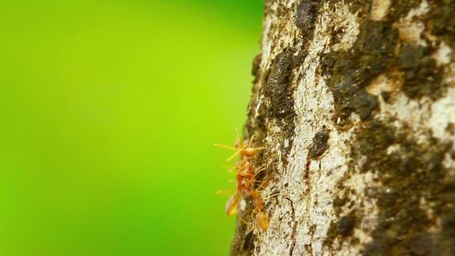 red ants in bardia national park, nepal - park narodowy kanha filmów i materiałów b-roll