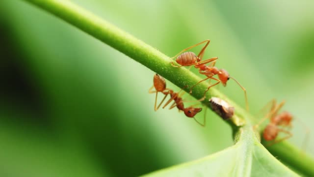 Red ants walking on green leaves in nature