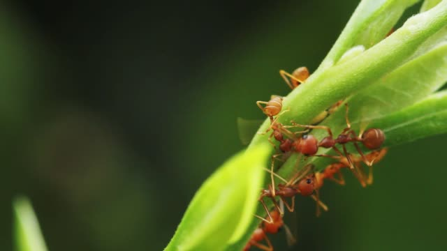Red ants walking on green leaves in nature.