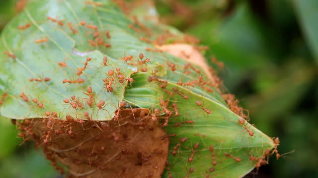 Red ants with their nest video